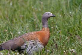 ornamental ducks images stock pictures royalty free ornamental
