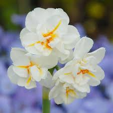 narcissus sir winston churchill white flower farm