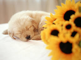 Cute Wall Papers by Cute Puppies Backgrounds 68 Wallpapers U2013 Hd Wallpapers