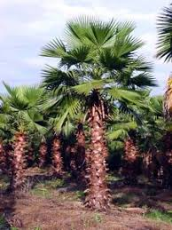 mexican fan palm growth rate washingtonia robusta hardy tropical mexican fan palm tree 10