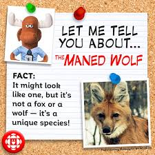 4 facts about the maned wolf explore awesome activities