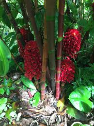 hawaiian native plants sewn and grown harold l lyon arboretum university of hawaii at