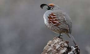 gambel u0027s quail birds of north america online
