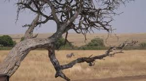 zebra tree 2 stock footage videoblocks