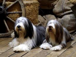 bearded collie x border collie puppies for sale breeders of bearded collie or bearded collie in spain pets