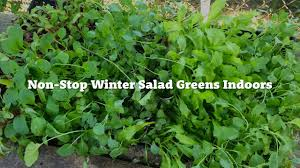 growing continuous supply of indoor salad greens this winter youtube