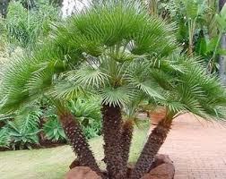 sylvester palm tree price northeast florida s tree source page 2 jacksonville