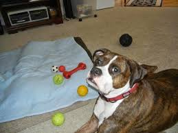 boxer dog with full tail no tail left behind tuesday u0027s tails pixel introduces jovial