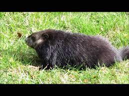 black woodchuck groundhog marmota monax 1080p hd youtube