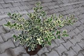 common silver evergreen hedge plants hedge