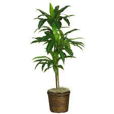 dracaena dracaena spp air purifying plants pinterest silk
