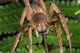 brazilian wandering spiders bites u0026 other facts