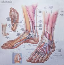 Google Human Anatomy Pic Of Foot Anatomy Tendon Foot Anatomy Muscles Foot Muscle And
