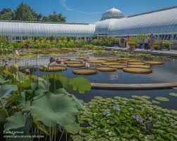 the waterlily pond at the new york botanical garden exploration