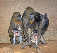 Baby Stores In Los Angeles Area Mandrill Brother Sister Baby Monkeys Debut At L A Zoo Tuesday