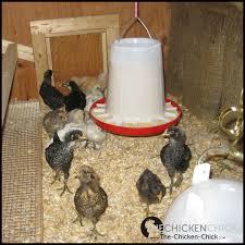 the chicken march 2012