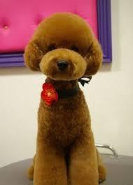 haircutsfordogs poodlemix best 25 poodle haircut ideas on pinterest poodle teddy bear cut