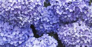 violet purple meaning of the color purple