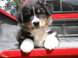 t r australian shepherds favorite puppy names