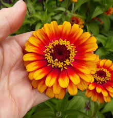 zinnia flower zinnia elegans zowie buy online at s annuals