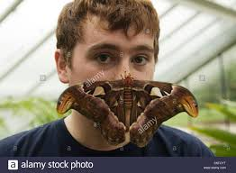 butterfly keeper gets familiar with a attacus atlas moth at