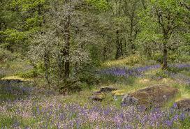 White Oak Tree Bark Prairie Oak Ecosystems Of The Pacific Northwest Ecological