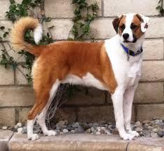 australian shepherd uk aussie boxer australian shepherd x boxer beautiful hybrid dogs