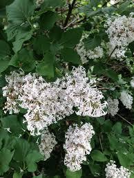 looks like lilac bush but isn u0027t anyone know u2022 helpfulgardener com