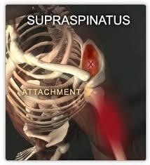 Innervation Of Supraspinatus 25 Best Supraspinatus Muscle Ideas On Pinterest Infraspinatus