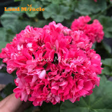 Geranium by Compare Prices On Geranium Plant Online Shopping Buy Low Price