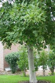 Good Backyard Trees by 45 Best Trees And Shrubs Images On Pinterest Trees And Shrubs