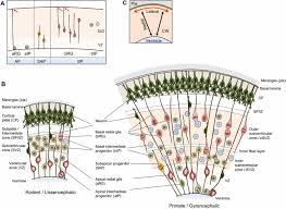 neural progenitors neurogenesis and the evolution of the