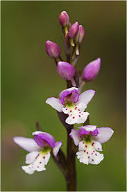 manitoba native plants hunting orchids on the prairies winnipeg free press homes