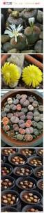 1018 best succulents images on pinterest succulents garden