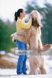 afghan hound in clothes afghan hound hugging owner stock photo getty images