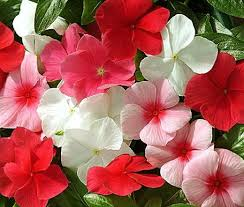 vinca flower mix catharanthus roseus seeds