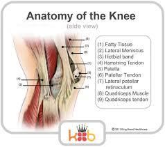 Back Knee Anatomy Back Knee Muscles And Tendons Human Anatomy Body