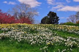Botanic Garden Bronx by Bronx Ny Daffodil Hill At Ny Botanical Garden U2014 Stock Photo