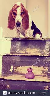 Looking Down Stairs by Basset Hound Looking Down Stairs At Toy Stock Photo Royalty Free