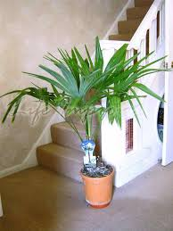 indoor tropical plants indoor alexander palm synonymy seaforthia