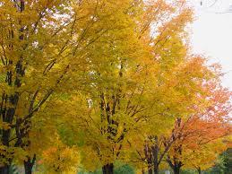 in fall file maples in fall colours dutchy s hole ottawa jpg wikimedia