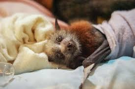 mammiferi volanti 10 tenerissime foto di adorabili pipistrelli e alcuni falsi