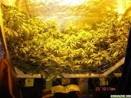 closet grow too much light u003d overkill grasscity forums