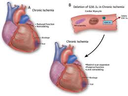 Heart Anatomy And Function Glycogen Synthase Kinase U20133 And The Heart Jacc Journal Of The