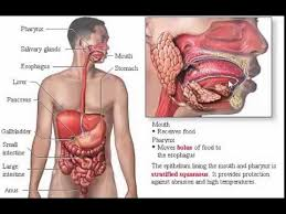 Anatomy Of Stomach And Intestines System Digestive Anatomy Review Part 1 Wall Intestine And Stomach