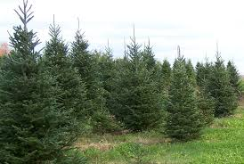 buy christmas tree buy local christmas trees support local growers news sports