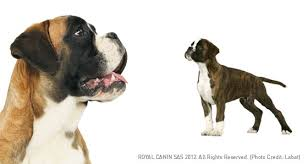 boxer dog origin boxer dog breed profile petplanet co uk