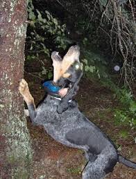 bluetick coonhound decals blue tick hound photo daily gun pictures hunting dogs part 3