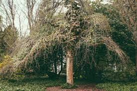 tree the ubyssey