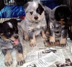 is an australian shepherd smart top 25 best australian shepherd height ideas on pinterest mini